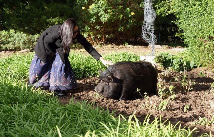 petting a big pig