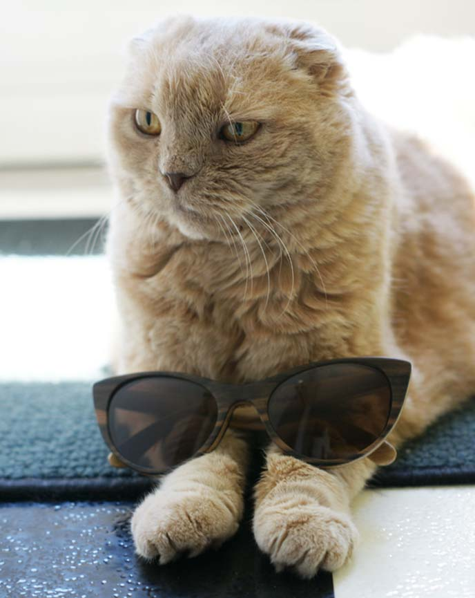 cat with cat-eye shape sunglasses