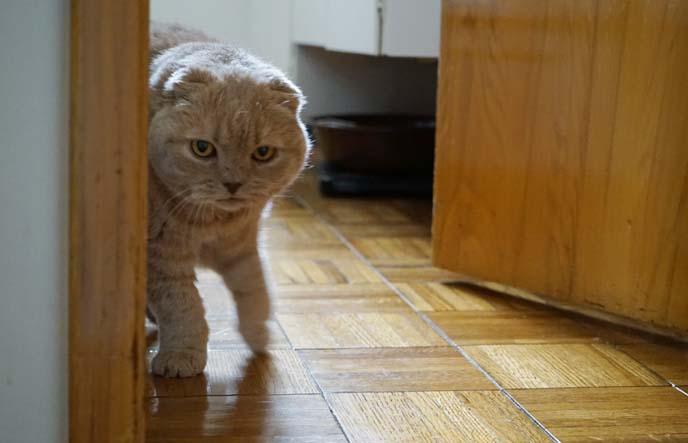 cat in motion, walking