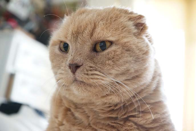 funny angry faced scottish fold cat