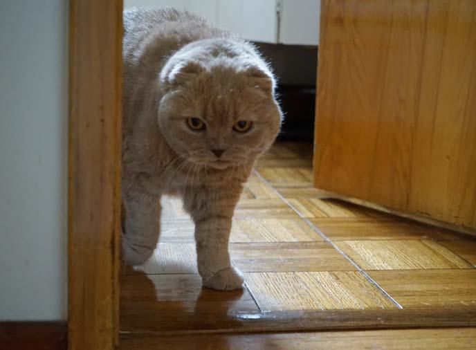 scottish fold cat with paw raised