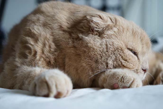 sleepy scottish fold