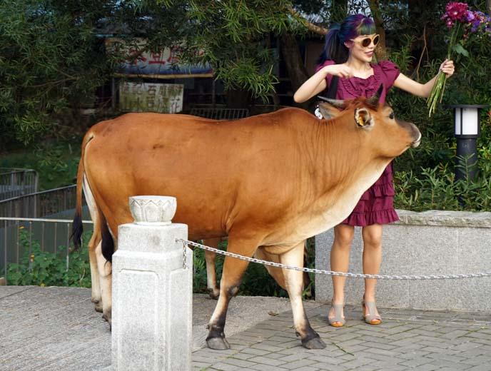 lantau island wild cows