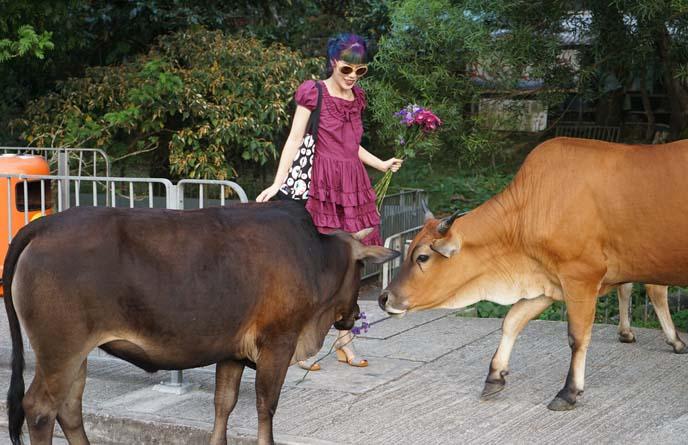 lantau island buffalo