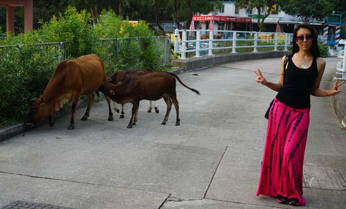 wild cows hong kong