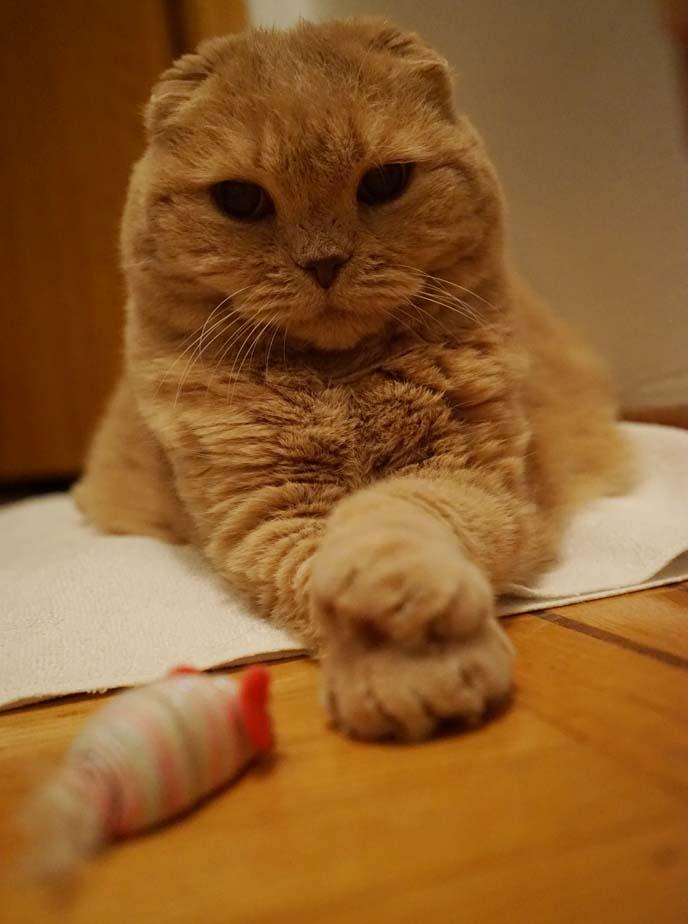 big paws scottish fold
