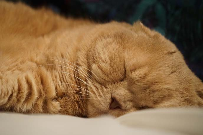 scottish fold face sleeping