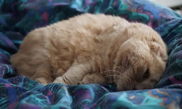 big cheeks jowls scottish fold cat