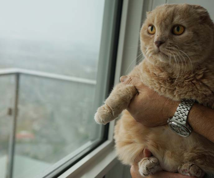 how to hold cats, scottish fold cat