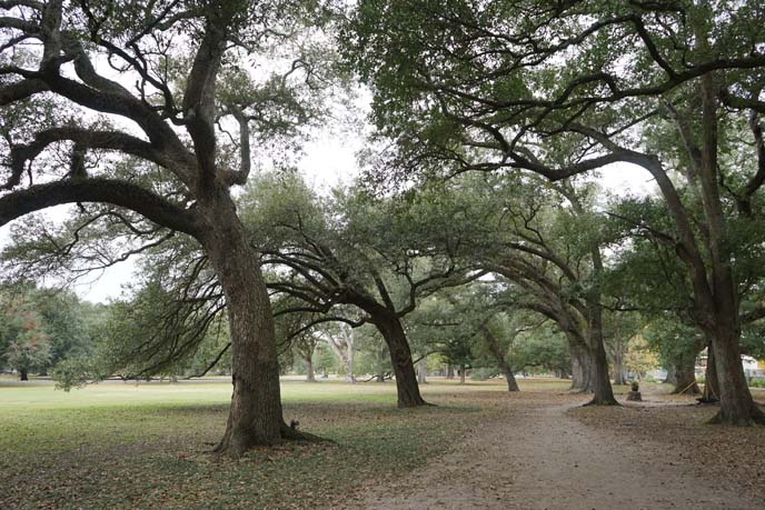 southern oak trees, louisiana