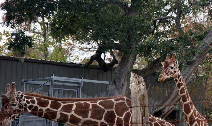 giraffes audubon zoo new orleans