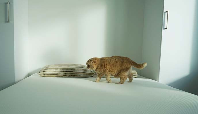 cat walking on bed