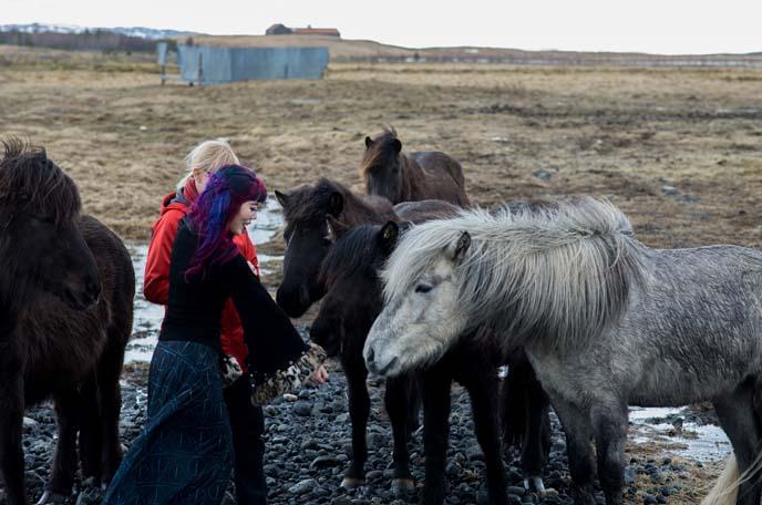 petting icelanndic horses
