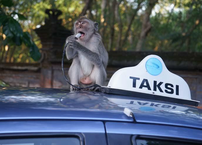 crazy bali monkeys, macaques