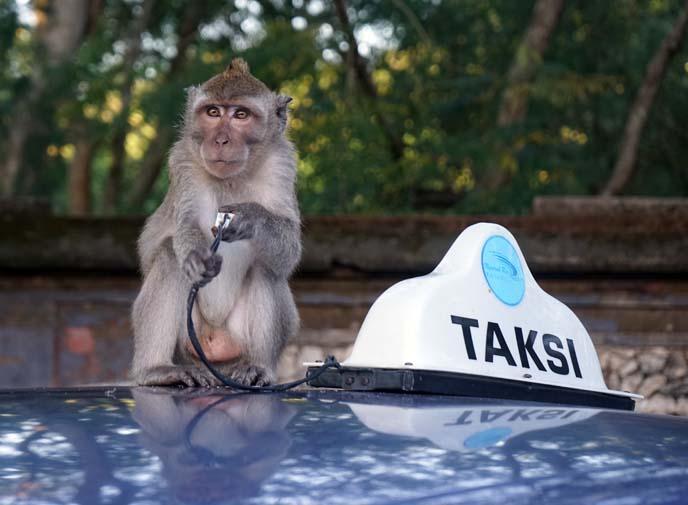 ubud monkeys stealing