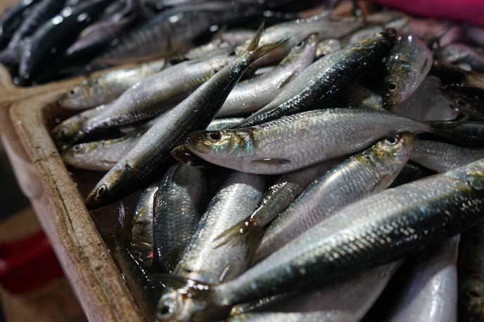 herring fish indonesia