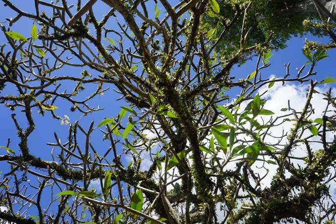indonesian trees, leaves