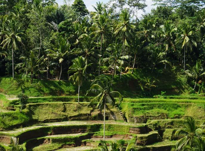 ubud layered rice paddies, rice terrace