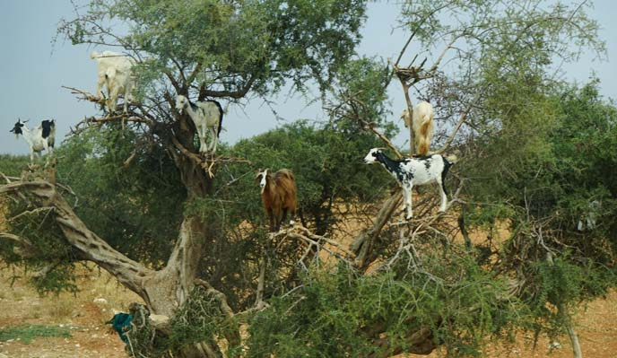 morocco goats on trees