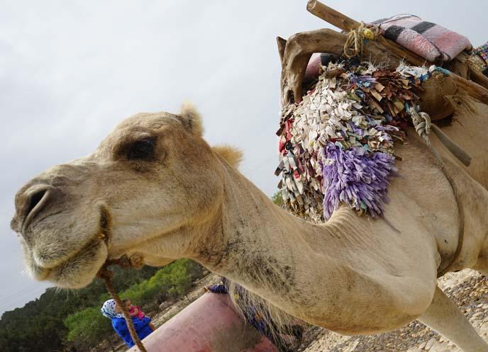 camel rides morocco marrakesh