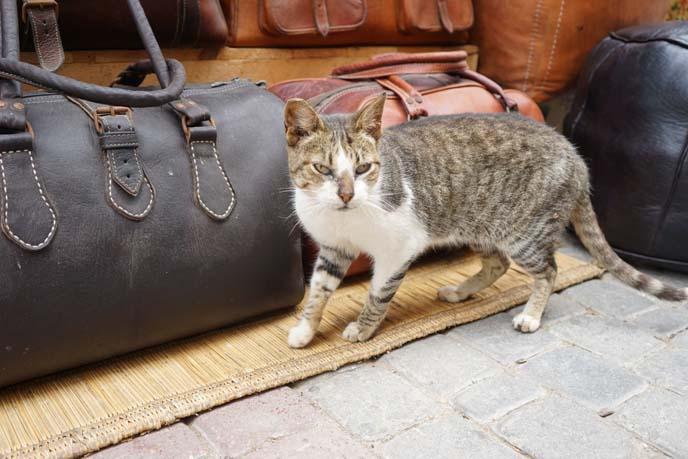 moroccan cats, Essaouira
