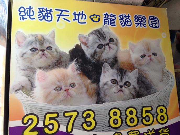 exotic shorthair kittens in basket