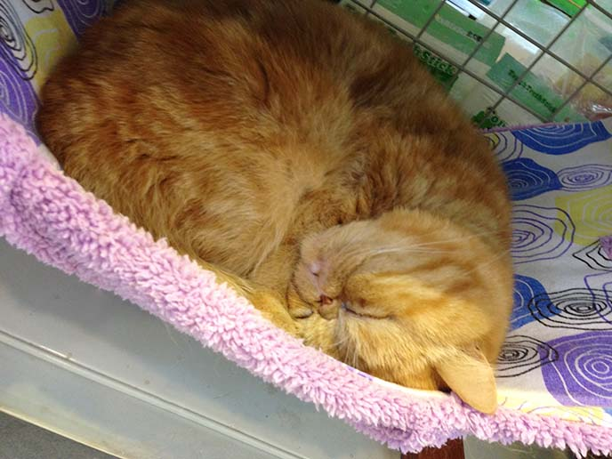 orange exotic shorthair cat sleeping