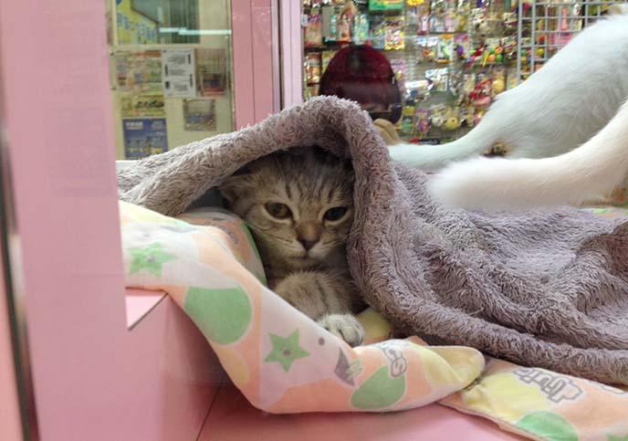 grey scottish fold kitten