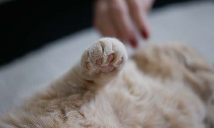 scottish fold cat paw