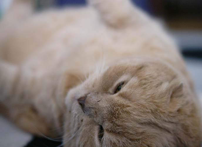round fat baby cat
