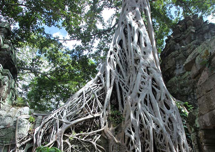 white tree roots ta prohm