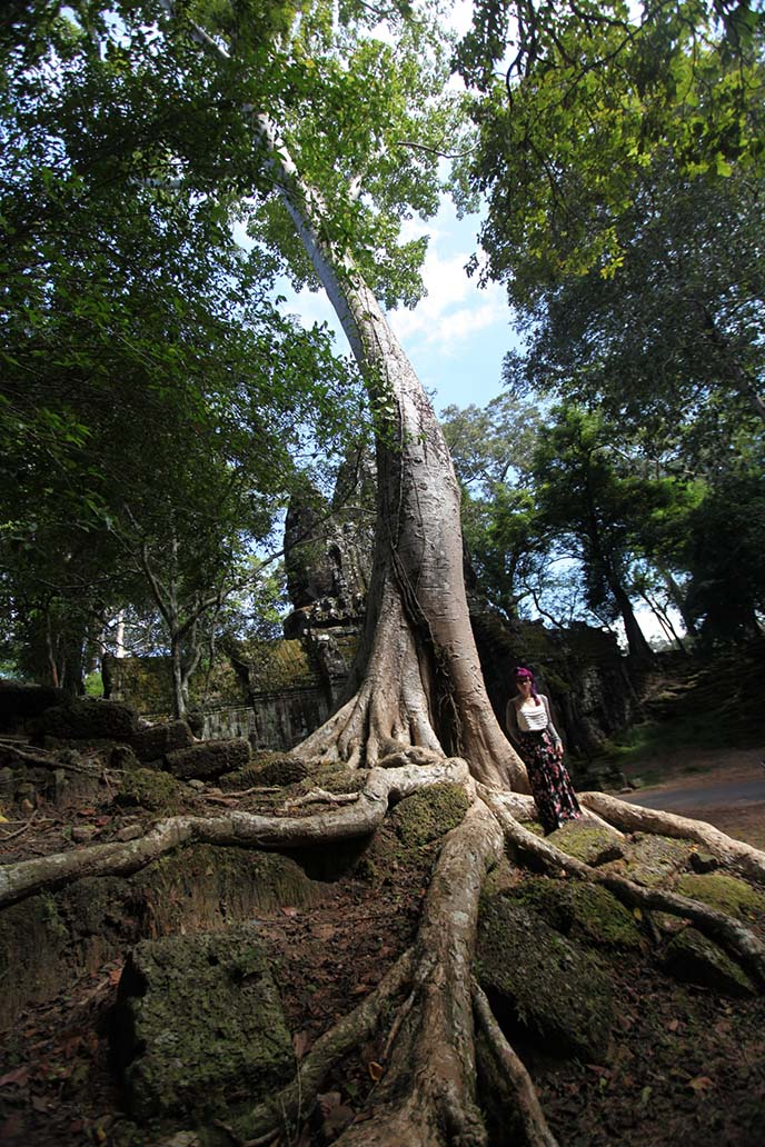 big tree roots cambodian jungle