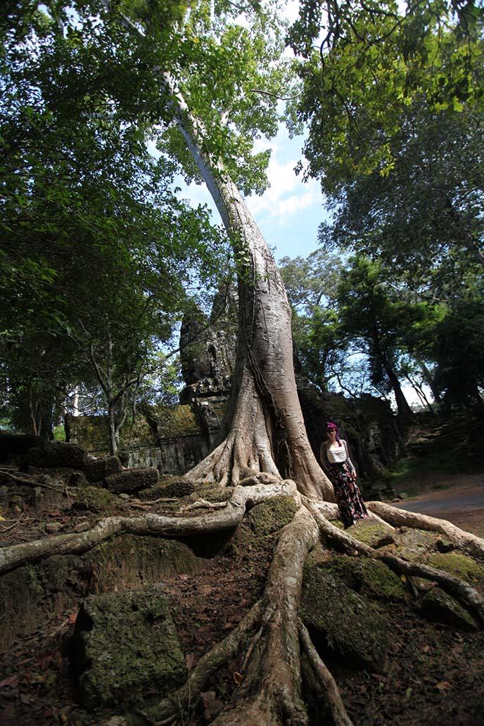 big tree roots cambodian jungle