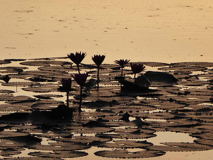 lotus flowers silhouette sunrise