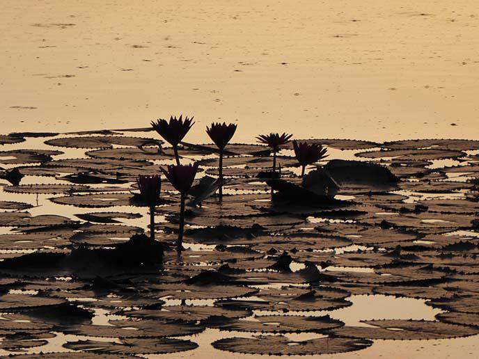 lotus flowers silhouette sunrise