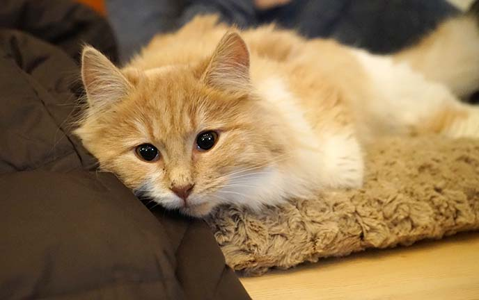 spca vancouver cats cafe adoption
