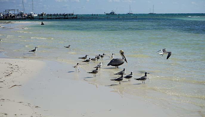 mexico pelicans ocean