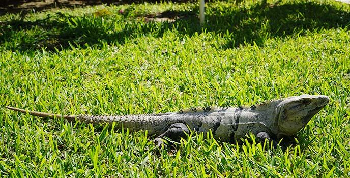 mexico big iguana