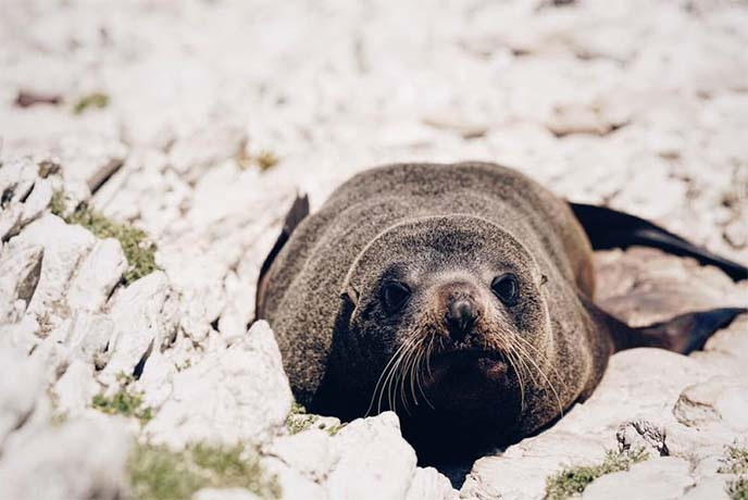 new zealand fur seal cute