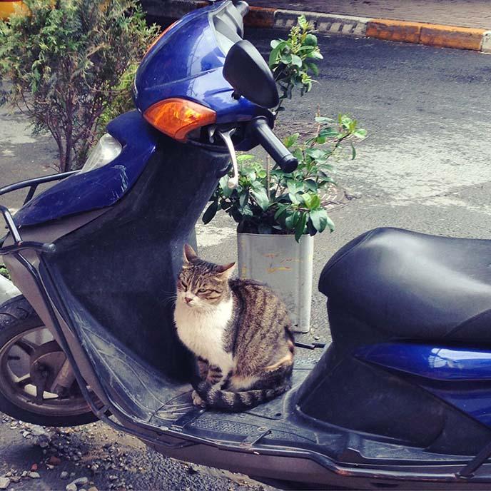 turkey cat sitting on motorcycle