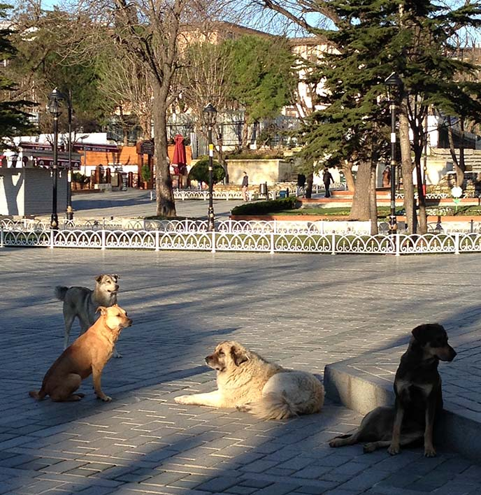 istanbul street dogs ears tagged