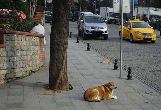 istanbul stray dogs