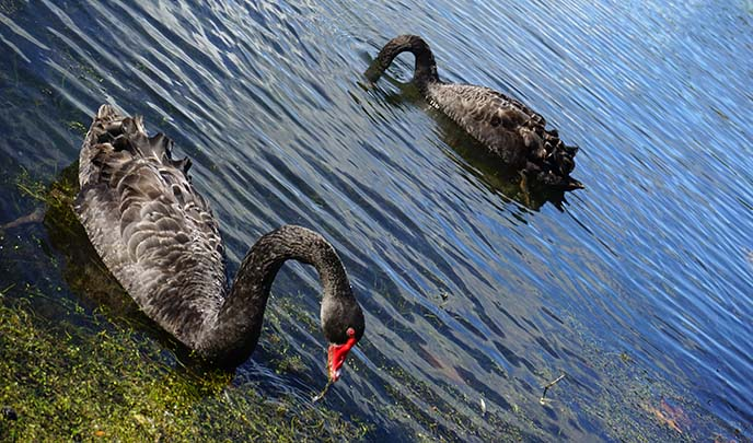 new zealand black swan birds