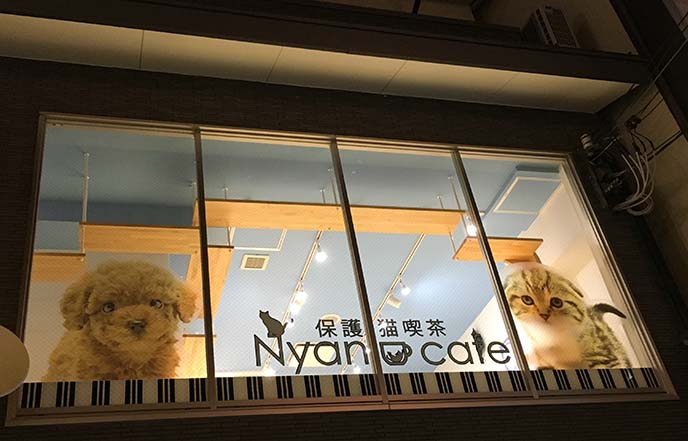 scottish fold cat cafe kyoto