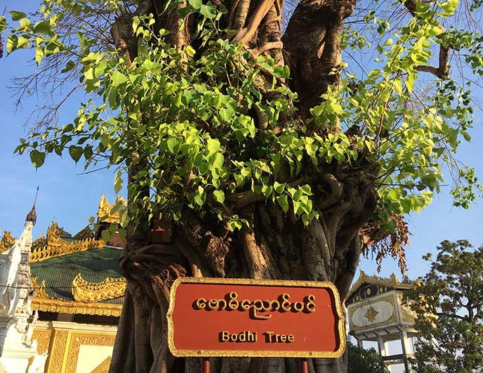 myanmar bodhi tree Shwedagon
