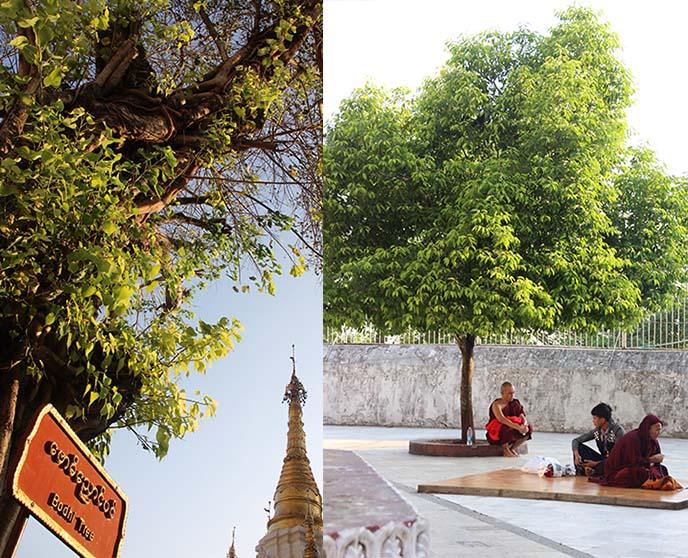 buddha monk meditating bodhi tree