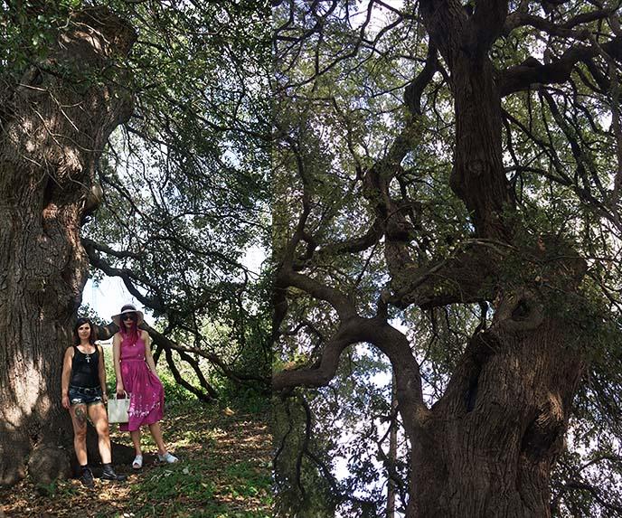 treaty oak poisoned tree