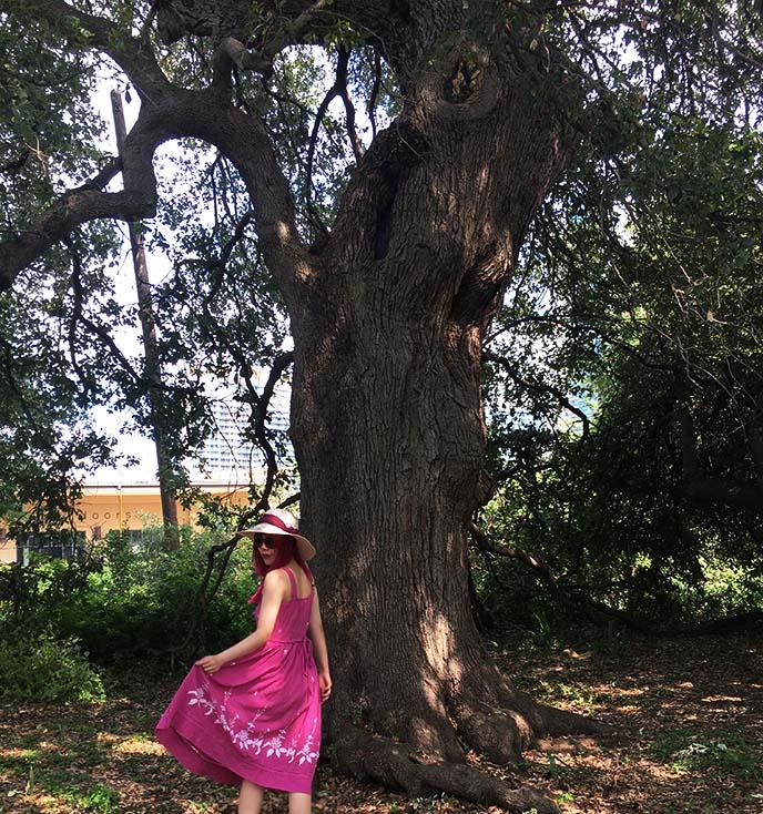 treaty oak tree austin texas