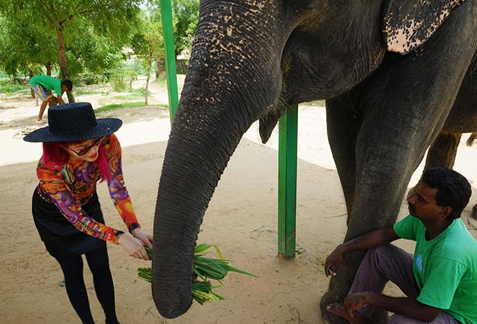 feeding rescued elephant, elefantastic