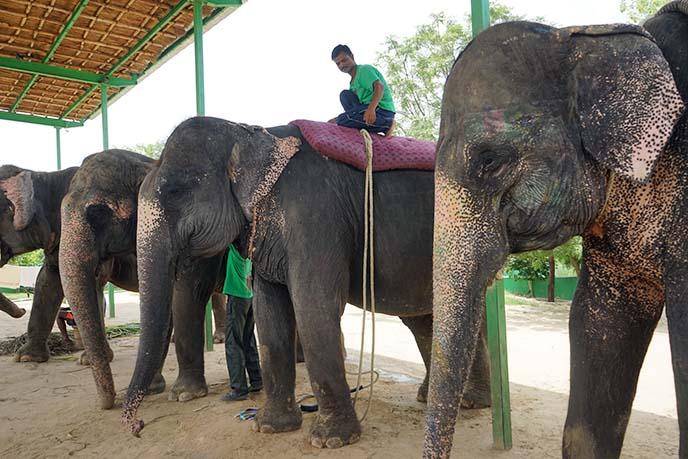 elephant riding without saddle